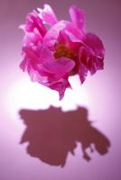 濃いピンクの芍薬(生花) 10405000867| 写真素材・ストックフォト・画像・イラスト素材|アマナイメージズ