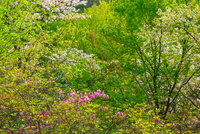 春色の雑木林 10410001087  写真素材・ストックフォト・画像・イラスト素材 アマナイメージズ