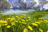 タンポポ咲く琵琶湖畔 10410001300| 写真素材・ストックフォト・画像・イラスト素材|アマナイメージズ