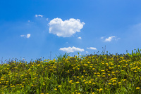 タンポポの花と青空 10410001423| 写真素材・ストックフォト・画像・イラスト素材|アマナイメージズ