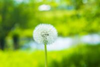 タンポポの種子 10410001461| 写真素材・ストックフォト・画像・イラスト素材|アマナイメージズ