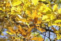 クヌギ 10414001391| 写真素材・ストックフォト・画像・イラスト素材|アマナイメージズ