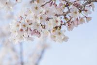 桜 10417007605  写真素材・ストックフォト・画像・イラスト素材 アマナイメージズ