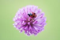 てんとう虫と赤い花