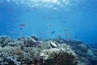 熱帯魚とサンゴ 10430003104| 写真素材・ストックフォト・画像・イラスト素材|アマナイメージズ