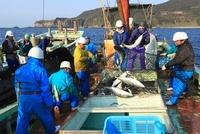 ブリの定置網漁