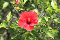式根島村内に咲くハイビスカス 10430008865| 写真素材・ストックフォト・画像・イラスト素材|アマナイメージズ