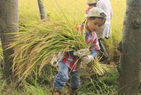 稲を収穫する男の子