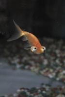 頂天眼 金魚