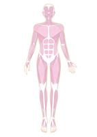 人体の筋肉イラスト・肌色