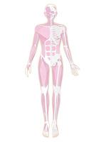 半分だけ骨格が見えている人体の筋肉イラスト・肌色