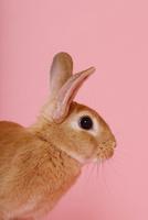 ウサギのポートレイト 10487001841| 写真素材・ストックフォト・画像・イラスト素材|アマナイメージズ