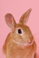 ウサギのポートレイト 10487001845| 写真素材・ストックフォト・画像・イラスト素材|アマナイメージズ