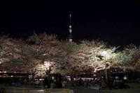 「雅」のライトアップをした東京スカイツリーと夜桜