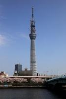 隅田公園より望む桜と東京スカイツリー