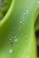 チューリップの葉の水滴