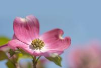 ハナミズキの花(ピンク)