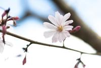 十月桜(春開花)
