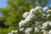 コデマリ(別名:スズカケ)の花