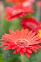 ガーベラの花 10511000110| 写真素材・ストックフォト・画像・イラスト素材|アマナイメージズ