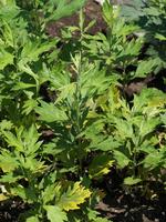 オオヨモギ 薬用植物
