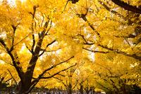 紅葉した神宮外苑のイチョウ並木 10511004767| 写真素材・ストックフォト・画像・イラスト素材|アマナイメージズ