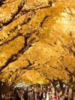 紅葉した神宮外苑のイチョウ並木 10511004768| 写真素材・ストックフォト・画像・イラスト素材|アマナイメージズ