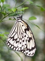 オオゴマダラ 10511004890| 写真素材・ストックフォト・画像・イラスト素材|アマナイメージズ