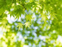 新緑のカエデ 10511004950| 写真素材・ストックフォト・画像・イラスト素材|アマナイメージズ