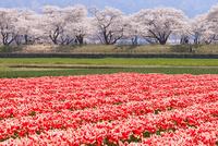 舟川ベリの桜とチューリップ 10517000442| 写真素材・ストックフォト・画像・イラスト素材|アマナイメージズ