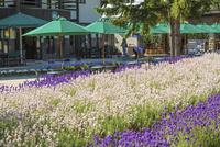 ファーム富田の花畑と売店