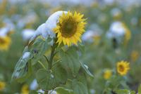 明野のひまわり畑に積もる雪 10517001834| 写真素材・ストックフォト・画像・イラスト素材|アマナイメージズ