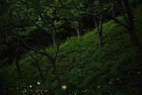 ヒメボタル 10529000050  写真素材・ストックフォト・画像・イラスト素材 アマナイメージズ