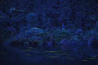 川面を飛ぶゲンジボタル 10529000063  写真素材・ストックフォト・画像・イラスト素材 アマナイメージズ