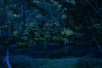 川面を飛ぶゲンジボタル 10529000064  写真素材・ストックフォト・画像・イラスト素材 アマナイメージズ
