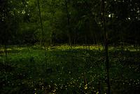 長良川の河川敷に舞うヒメボタル