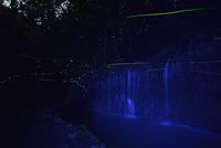 千条の滝に舞うゲンジボタル