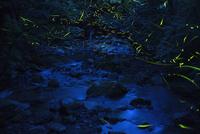 蛇骨川に舞うゲンジボタル