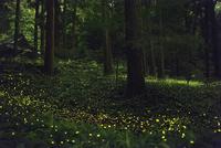 初夏に舞うヒメボタル 10529000098  写真素材・ストックフォト・画像・イラスト素材 アマナイメージズ