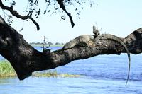 木の上のトカゲ