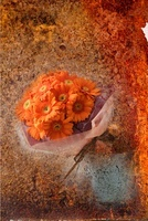オレンジ色ガーベラのイメージ 10531000531| 写真素材・ストックフォト・画像・イラスト素材|アマナイメージズ
