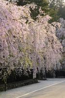 角館武家屋敷街の桜 10548004109| 写真素材・ストックフォト・画像・イラスト素材|アマナイメージズ