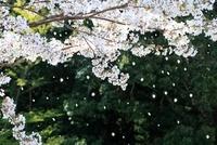 散る桜 10563000518| 写真素材・ストックフォト・画像・イラスト素材|アマナイメージズ