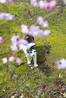 桜の花を見上げる子猫
