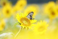 ヒマワリ畑のアゲハチョウ