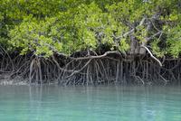 西表島仲間川のマングローブ