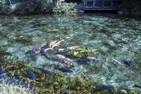 通称モネの池のニシキゴイがおよぐ風景