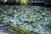 コイが泳ぐ通称モネの池