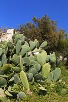 マルタ共和国 海岸のサボテン 10583008543| 写真素材・ストックフォト・画像・イラスト素材|アマナイメージズ