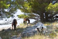 スルジ山頂のヤギと馬